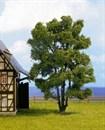 21660 Акация деревья 15см